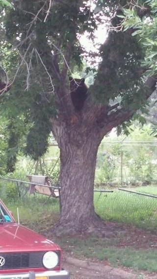 20150708__bear-in-a-tree-in-colorado-springs~p1