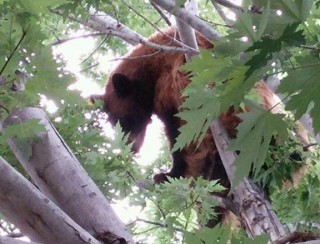 20150708__bear-in-tree~p1